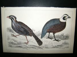 Goldsmith C1850 Antique Hand Col Bird Print. Quail